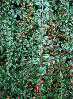 Coral beauty cotoneaster (cotoneaster dammeri 'coral beauty') in.