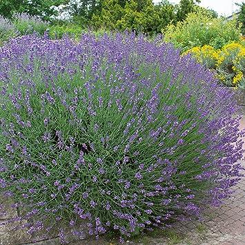Geliebte Stauden Echter Lavendel, Lavandula angustifolia, 6 Pflanzen, 7-9 &QA_08