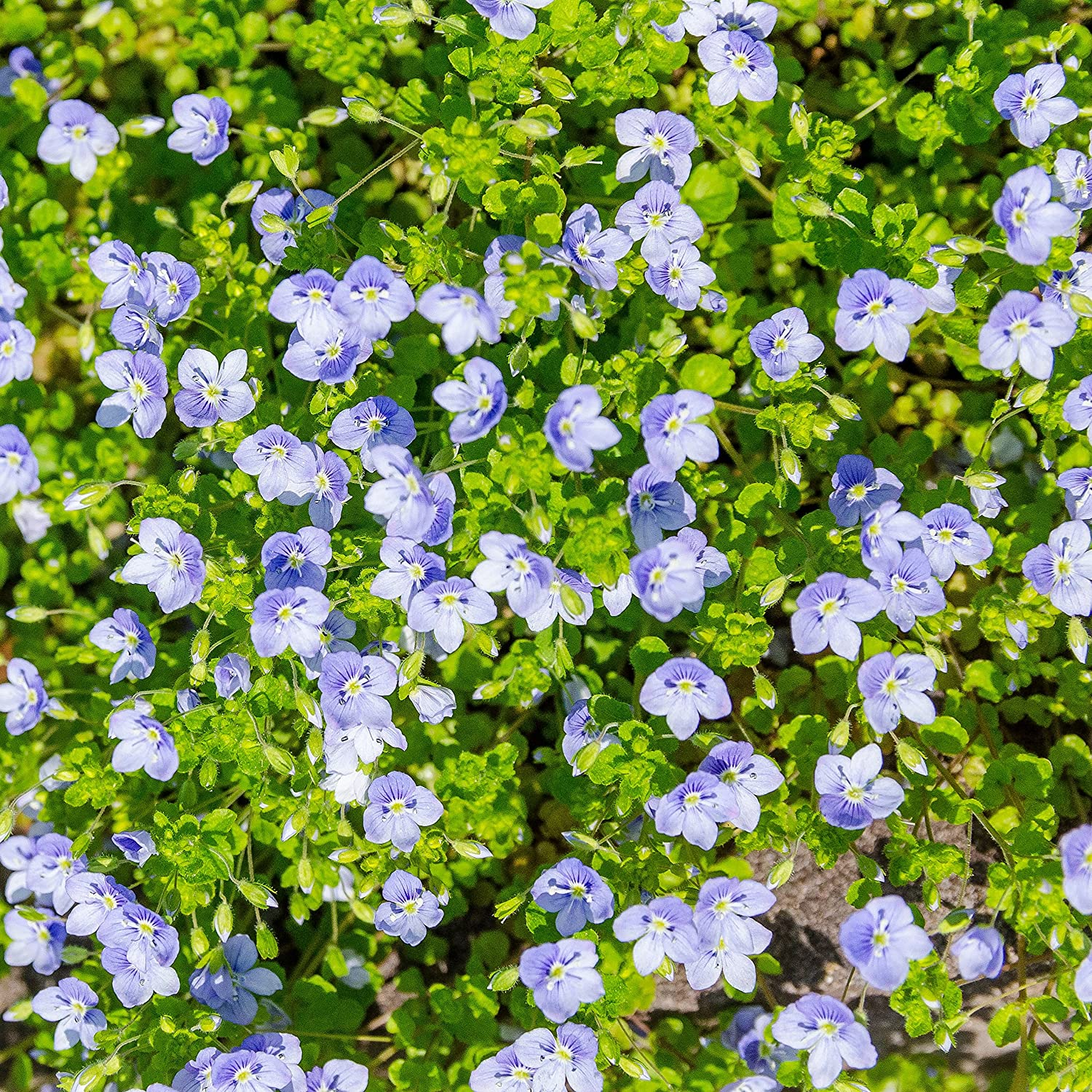 Amazon outsidepride creeping speedwell 1000 seeds garden amazon outsidepride creeping speedwell 1000 seeds garden outdoor izmirmasajfo