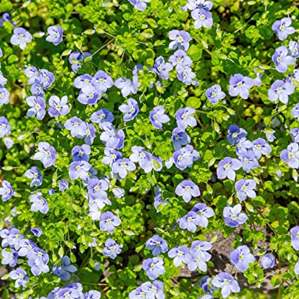 Amazon Outsidepride Creeping Speedwell Ground Cover Plant Seed