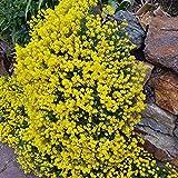 Outsidepride Alyssum Mountain Gold - 5000 Seeds
