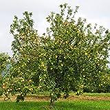 """Dominik Blumen und Pflanzen, Apfelbaum""""Gravensteiner"""", Busch, 1 Pflanze, ca. 60-80 cm hoch, 5-7 Liter Container, plus 1 Paar Handschuhe gratis"""