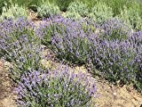 "zziggysgal Beautiful GROSSO Lavender Bundle freshly harvested & dried - 'California Grosso' lavender variety - about 19"" in length with approx. 100 stems"
