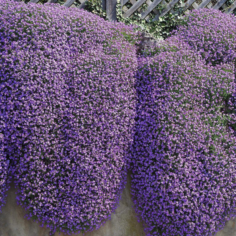 Amazon Com Outsidepride Aubrieta Rock Cress Cascade Purple