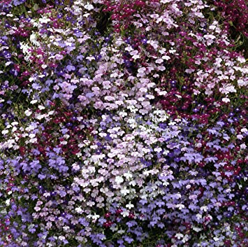 Lobelia Trailing Mixed 24 Bedding Plants British Grown Garden Ready