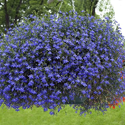 Amazoncom Outsidepride Blue Carpet Lobelia Plant Flower Seeds