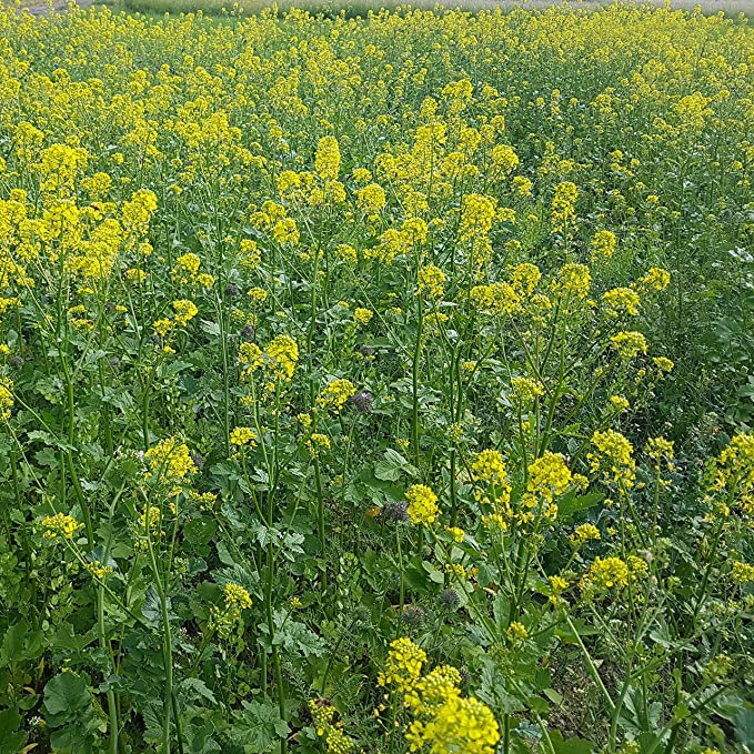 Amazon outsidepride yellow mustard 5000 seeds garden outdoor mightylinksfo
