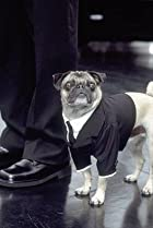 Image of Frank the Pug