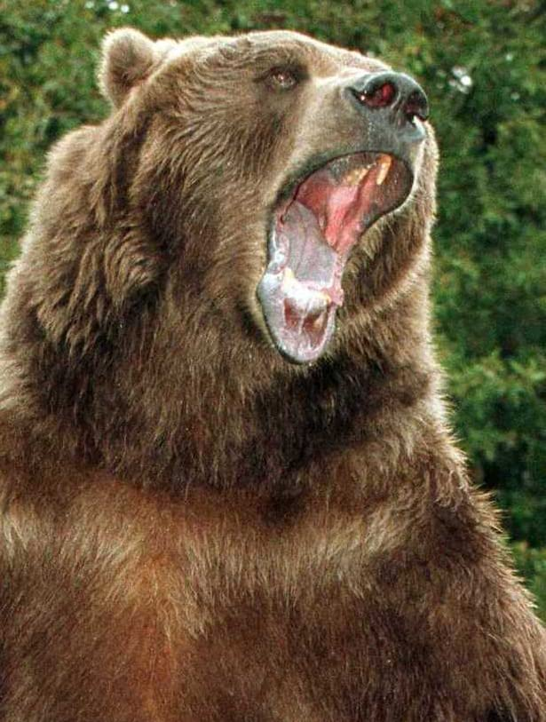 bart the bear kills trainer