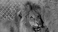 Wilbur in the Lion's Den