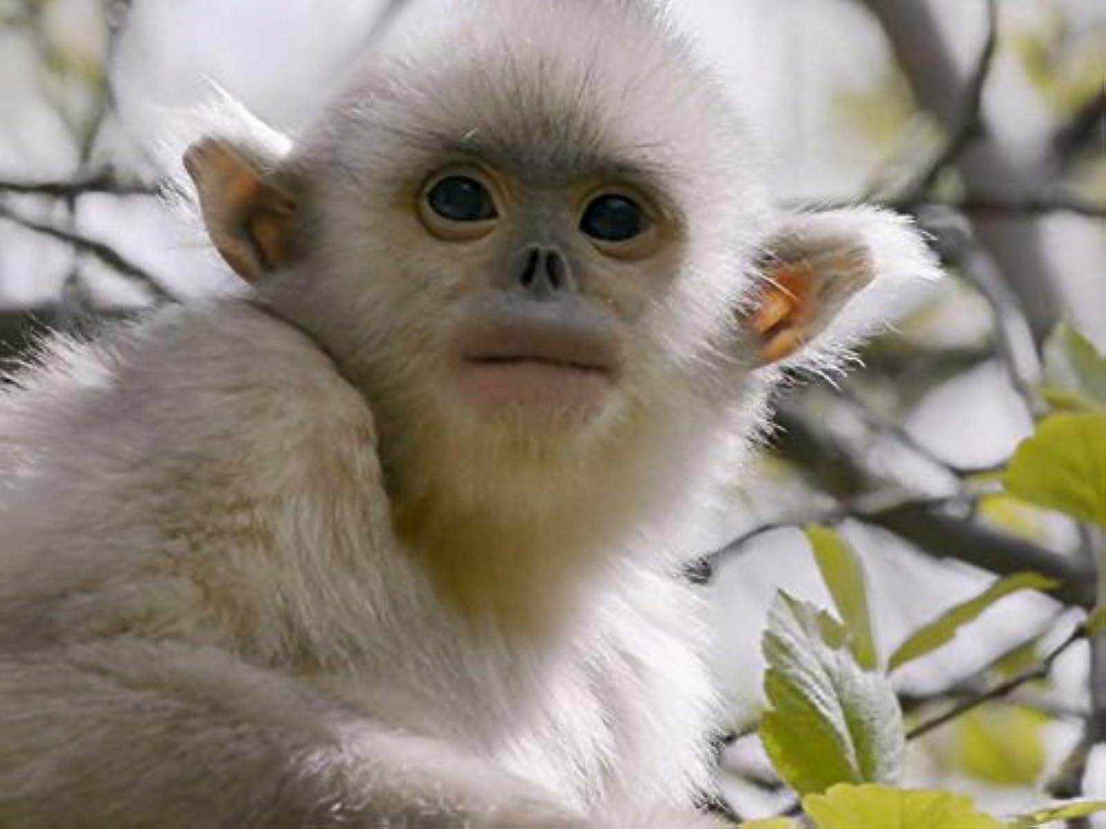 Paslaptingos Šangri La beždžionės