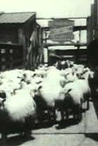 Image of Sheep Run, Chicago Stockyards