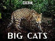 Big Cats - MiniSeason