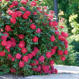 Double knock out rose bush easy to grow low for Easy low maintenance flowers