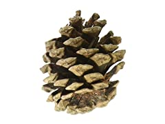 Natural Red Pine Cones