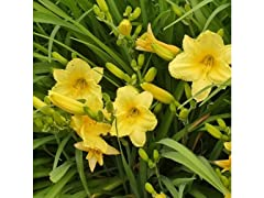 Stella D'Oro Daylily Flower Bare Roots- 6 Pack