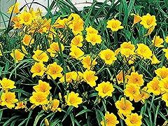 Mothers Daylily Hemerocallis Stella Flower Plant