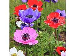 Poppy Anemone 15 Bulbs