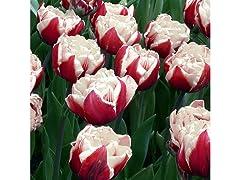 Tulipa Double late Ice Cream (6-Bulbs)