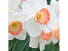 Pink Dutch Daffodils 18-Pack