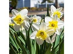 White Lion Daffodils 5 Bulbs