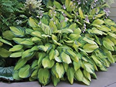 Hosta Perennial Mixed Bare Root Plants
