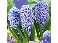 Blue Tango Double Hyacinths (12-Pack)