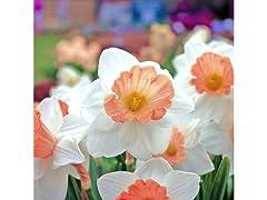 Pink Daffodils, 24-Bulbs