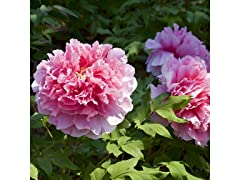 Mixed Princess Peonies Bare Root Plants