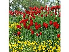 Sky High Scarlet Tulips 10 Bulbs