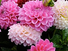 Lilac Time Dahlia Flower Bulbs