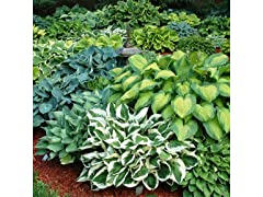 Hosta Bare Roots, Your Choice