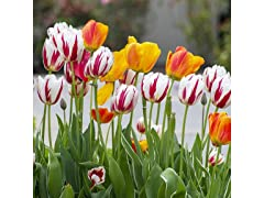 Mixed Sorbet Tulips (24-Pack)