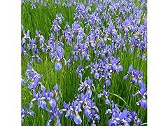 Siberian Iris - 6 Bulbs