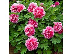 Giant Peony Tree Flower Roots (2-Pack)
