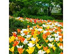 Ground Cover Tulips 12 Bulbs