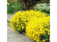 Gold Alyssum Flower Seed Mat