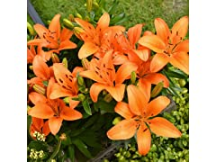 Dwarf Patio Oriental Lily Bulbs