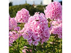 Touch Of ECO Double Phlox, 3 Bare Roots