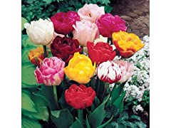Double Late Tulips 20-Bulbs