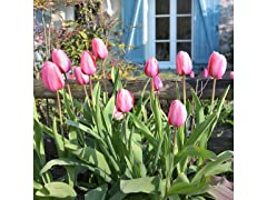 Pink Dutch Tulips (24-Pack)