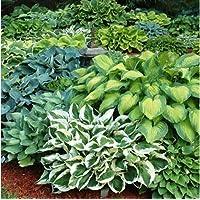 9-Pack Gardening4Less Hosta Perennial Mixed Bare Root Plants