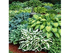 Hosta Perennial Mixed Plants - 9pk