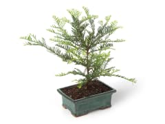 Miniature Coastal Redwood Tree