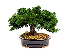 Single Montery Bonsai