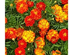 French Marigold Flower Seed Mat