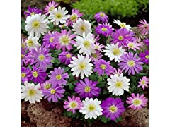 Mixed Anemone Blanda (45-Bulbs)