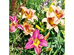 American Daylily Flower Bulbs