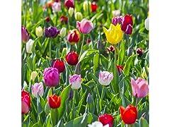 Double Late Tulips 10 Bulbs