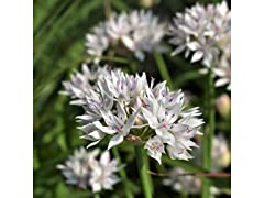 White Alliums 15 Bulbs